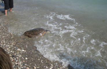 rhodes-aquarium-caretta-caretta-kleopatra