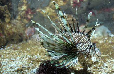 lion-fish-rhodes-aquarium