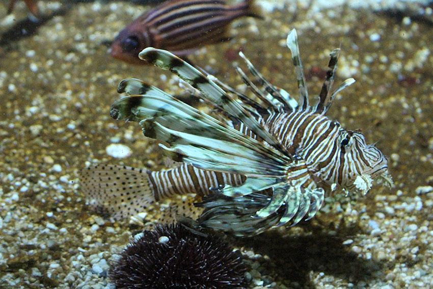 lion-fish-rhodes-aquarium-2